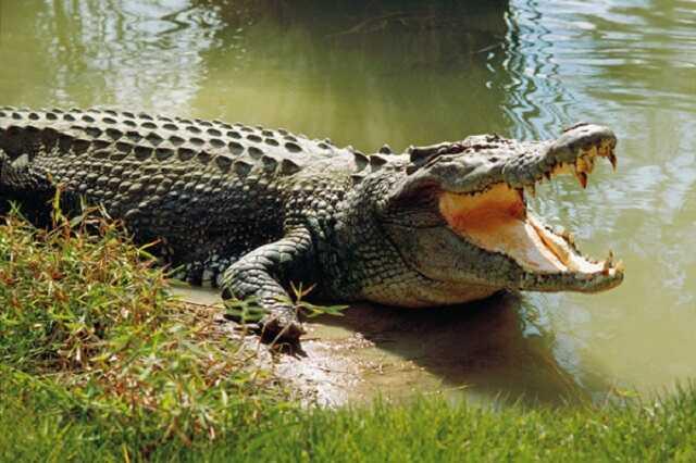 mo thay ca sau danh so may - Một con cá sấu khổng lồ xuất hiện trong giấc mơ báo hiệu điều gì?