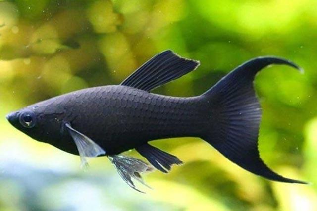 mo thay ca mau den - Mơ thấy cá màu đen đánh con gì? - Điềm báo may mắn từ giấc mơ thấy cá đen bơi trong nước