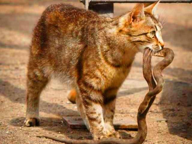 mo thay meo can ran danh de gi - Lưu ý giấc mơ thấy mèo cắn rắn