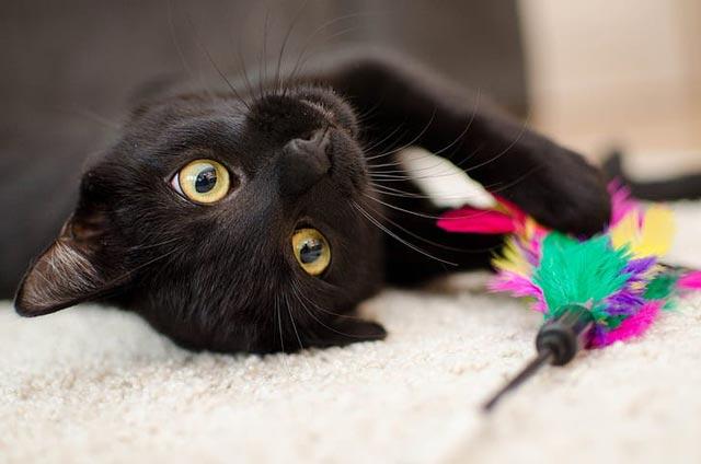 thay meo den danh so may - Giải mã giấc mơ mèo đen trong nhà là lời cảnh báo đến sức khoẻ của bạn