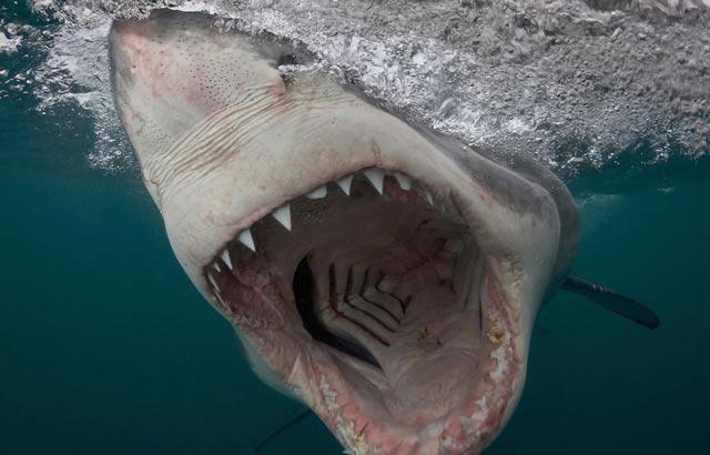 nam mo thay ca map - Giấc mơ cá mập tấn công mang điềm báo không tốt