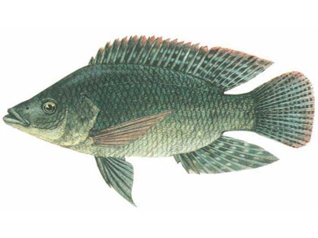 nam mo thay ca ro phi danh con gi - Giải mã giấc mộng thấy cá rô trong cuộc sống của chúng ta