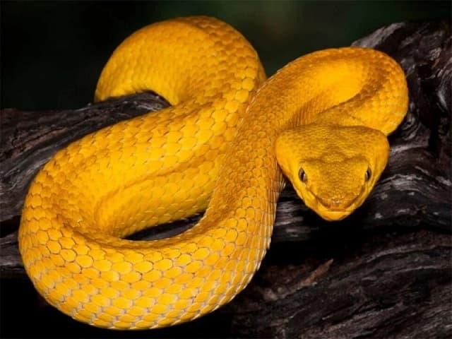 mo thay ran vang - nằm mơ thấy rắn vàng đánh con gì? - Mơ rắn vàng cắn là điềm báo không may mắn